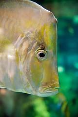 Long Face (imageClear) Tags: fish chicago nature face closeup aquarium illinois aperture nikon flickr photostream sheddaquarium d600 imageclear 2470mmvr