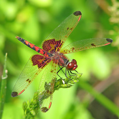 Calico pennant at the reservoir (Vicki's Nature) Tags: red canon georgia hearts dof dragonfly small spots s5 twocolors calicopennant 9075 hickorylog vickisnature