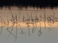 Rantaheinikko (Antti Tassberg) Tags: lake plant reflection grass hay kasvi jrvi hein pitkjrvi tyyni