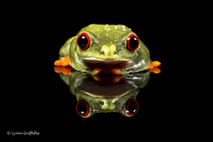 Red Eye Tree Frog and reflection D75_3005.jpg (Mobile Lynn) Tags: england nature fauna unitedkingdom wildlife ngc amphibian frog npc captive bournemouth agalychniscallidryas coth greatphotographers redeyetreefrog specanimal coth5 sunrays5