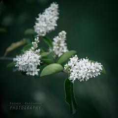 Fioriture di maggio (Andrea Rapisarda) Tags: fioriture floral flora fiori nature garden giardino allrightsreserved nikon d750