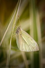 Small White (m) (ABPhotosUK (Thanks for 600 followers)) Tags: macro animals canon garden wildlife butterflies lepidoptera devon nocrop roosting dartmoor invertebrates pierisrapae smallwhite pieridae ef25mmextensiontube eos7dmarkii ef100400mmisii
