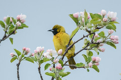 juvenile orchard oriole (BobRobin) Tags: chicago birds montrose lincolnpark firstyear oriole orchardoriole