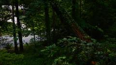 DSCN1408 (VerlynC) Tags: tree falling hickory