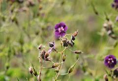 Geranium 'Lily Lovell' (careth@2012) Tags: nature petals spring nikon britishcolumbia geranium nikond3300 d3300