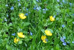 2016-05-19 secret wood (31)yellow and blue (april-mo) Tags: flowers yellow fleurs veronica wildflowers springflowers buttercups yellowandblue boutonsdor vronques