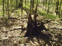 Fallen (V and the Bats) Tags: old trees wisconsin forest bicycling roots fallen waukesha fallentree foxrivertrail instagram