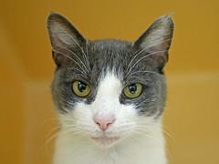 Daffodil_04 (AbbyB.) Tags: rescue pet cat newjersey feline shelter adopt adoptable shelterpet petphotography easthanovernj mtpleasantanimalshelter