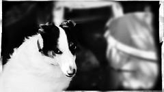 Sheba - Garden (JRdelta) Tags: dog pet white black home garden monotone