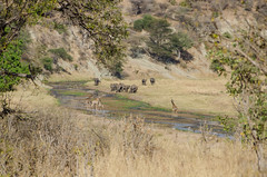 assembly (sixthofdecember) Tags: africa travel elephant nature grass sunshine animal animals tanzania outside outdoors nationalpark nikon sunny safari giraffes giraffe elephants grassland tamron tarangire tarangirenationalpark tamron18270 nikond5100