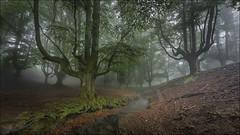El bosque encantado (Explore) (Jose Cantorna) Tags: paisaje bosque bizkaia niebla euskadi haya ubidea