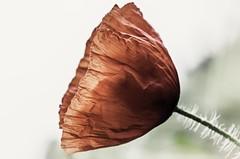 poppy - am Wegesrand (Florian Grundstein) Tags: red rot bayern blossom olympus poppy pro florian blume blte zuiko omd oberpfalz mohn blass durchscheinend romantisch crinkle grundstein falten seeberg 1240 burglengenfeld premberg teublitz