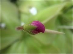 (Tölgyesi Kata) Tags: botanikuskert botanicalgarden füvészkert budapest withcanonpowershota620 üvegház greenhouse pinguicula butterworts hízóka rovaremésztőnövény húsevőnövény rovarevőnövény carnivorousplant zöld