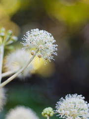 Japanese Aralia (Polotaro) Tags: flower nature pen olympus   zuiko ep1    fantasticflower gzuiko50mmf14
