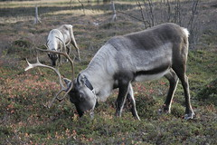 Rangifer tarandus (natalkamphotos) Tags: finland reindeer lapland rangifertarandus