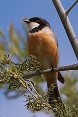 Listening, not whistling (Geoff Main) Tags: bird australia act rufouswhistler canonef100400f4556lisusm canon7d tharwasandwash