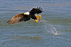 American Bald Eagle Fish Grab (Brian E Kushner) Tags: fish bird birds animals flying inflight wings fishing md king eagle dam wildlife flight baldeagle beak bald maryland talon darlington f4 haliaeetusleucocephalus birdwatcher americanbaldeagle conowingo 600mm nikor conowingodam d3x afsnikkor600mmf4gedvr nikond3x bkushner brianekushner nikon600mmf4afsvr