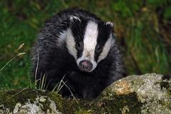 Badger (Bloxwatch) Tags: nature animals scotland nikon d70 nikond70 badger badgers carnivores scottishwildlife mustelids bloxwatch