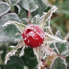 Frozen Rosebud (DomiKetu) Tags: flowers winter red white snow flower green ice nature leaves rose lumix frozen leaf focus frost dof rosebud panasonic romania icy roumanie iarna zapada cristals rumanien fz38 fz35 iarnainromania