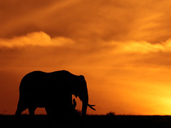 8684 Elephants Sunrise, Masai Mara - Ian Yule