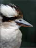 YOUNG KOOKABURRA PORTRAIT (Shaun's Wildlife Photography) Tags: birds shaund