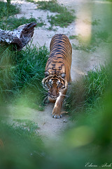 Eye Contact [Explored] (Edwin_Abedi) Tags: animals zoo tiger