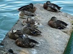 Sonnellino di gruppo (La minina) Tags: lake lago garda group ducks riposo resting roccia desenzano gruppo papere sonnellino