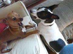 Pals!? a (dszy) Tags: chihuahua dogs bongo napoleon 2011