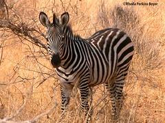 Zebra (Perkins-Boyer Photos) Tags: tanzania safari zebra africananimals ruahanationalpark