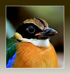 Blue-winged Pitta-on EXPLORE (Ericbronson's Photography) Tags: nature canon interesting singapore wildlife pitta bluewinged specanimal ericbronson mygearandme mygearandmepremium mygearandmebronze mygearandmesilver mygearandmegold mygearandmeplatinum mygearandmediamond flickrstruereflection1