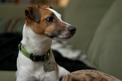Crazy Eye (joshames) Tags: dog jackrussellterrier griz grizwald