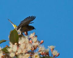 Yellow-rumped Warbler (Tom Clifton) Tags: birding pacificgrove washingtonpark christmasbirdcount