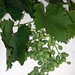 "Vitis vinifera L., Vitacaeae • <a style=""font-size:0.8em;"" href=""http://www.flickr.com/photos/62152544@N00/6596775491/"" target=""_blank"">View on Flickr</a>"