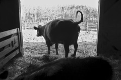Caught in the Act (oxfordblues84) Tags: ohio bw animal barn cow blackwhite tail piss peeing metropark canalwinchester slaterunlivinghistoricalfarm