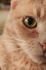 pixie (crorlz) Tags: portrait pet cat feline pixie