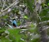 Azure-breasted Pitta - Pitta steerii from Bohol, Rajah Sikatuna National Park. (Bram Demeulemeester - Birdguiding Philippines) Tags: philippines bohol visayas bramdemeulemeester rajahsikatunanationalpark pittasteerii azurebreastedpitta birdingphilippines birdguidingphilippines philippinesbirdingtours birdingtourphilippines