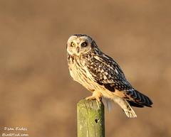 Short eared owl (Dean Eades - BirdMad) Tags: owl digitalcameraclub 100commentgroup httpwwwbirdmadcom allofnatureswildlifelevel1 allofnatureswildlifelevel2 allofnatureswildlifelevel3 deaneadesbirdmadcanon