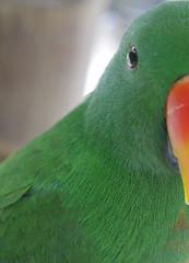Green Parrot (James_Roberts) Tags: bali holiday green october 2011 tamanburungbalibirdpark