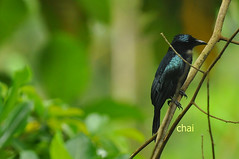 hair crested drongo (wanderchai) Tags: wild nature birds alyssa sabang palawan crestedgoshawk agaban philippinewildbirds