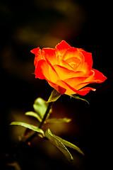 玫瑰花 (Fu-yi) Tags: flowers color macro love rose zeiss sony taiwan rosa taipei fe lovely alpha f18 花 dslr 台灣 za 植物 135mm 花朵 a77 台北市 薔薇 微距 carlzeiss admirable 青年公園 rosaceae 玫瑰 formosan 顏色 玫瑰花 福爾摩沙 ローズ 蔡斯 rosahybrida rosarugosathunb 卡爾蔡斯 blancalindacomepan hambrerisa 徘徊花 刺玫花 japaneserose,rose conversiónsueñocopetonpaloma rosalindasuperbella magicmomentsinyourlifelevel1