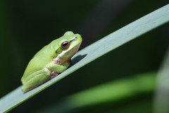 Eastern Dwarf Tree Frog (Lacewing!) Tags: cute reeds wildlife australia amphibian frog nsw wootton litoriafallax