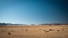 Wildhorses of Namibian Desert | 1