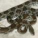 Slowinski's Corn Snake