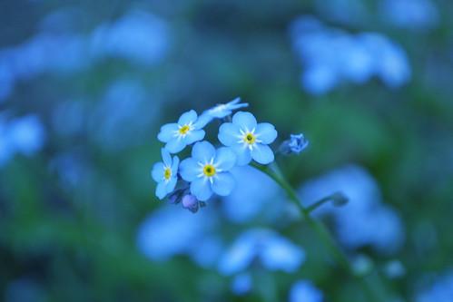 Delicate Blue...(249/365) (*amanda lynn) old flowers blue spring may 2011