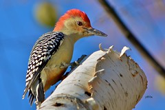 Red-bellied Woodpecker 110111ac (jt893x) Tags: male bird woodpecker nikon profile redbelliedwoodpecker redbellied melanerpescarolinus 55300mm d7000