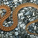 Midland Brown Snake