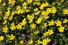 Fingerkraut, Frhlings-_I_DSC_0010 (schaefer_rudolf) Tags: natur pflanze gelb blte rosaceae frhlingsfingerkraut rosengewchs potentilla neumanniana tabernaemontani