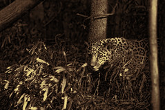 Stalking Mom (Light Echoes) Tags: winter baby philadelphia zoo cub nikon jaguar lucha stalking bigcats 2012 philadelphiazoo d90