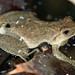 Male Spring Peeper