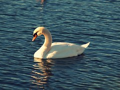 toronto ontario canada bird swan promenade mississauga lakefront